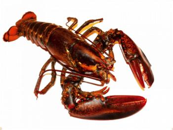 Lobster homarus Bahamas